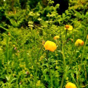 Blüte gelb Taufers